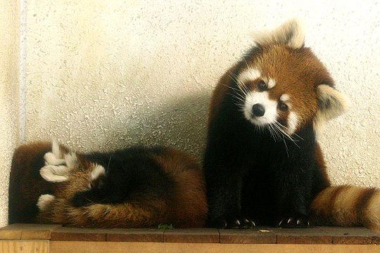 首をかしげてこちらを見つめるレッサーパンダの赤ちゃん