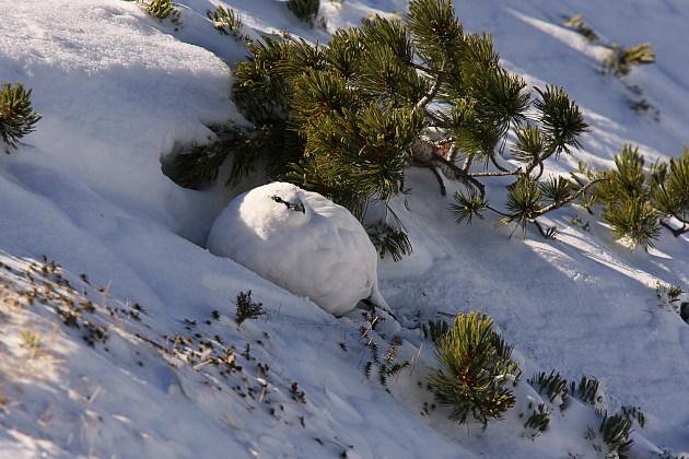 冬毛の雷鳥